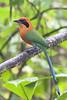 Rufous Motmot (Baryphthengus martii) (Jeluba) Tags: bird vertical canon ecuador wildlife aves ornithology birdwatching oiseau neotropical rufousmotmot baryphthengusmartii zimtbrustmotmot motmotroux