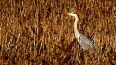 Nelle canne (Michele -) Tags: birds bentivoglio larizza