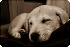 ZZZzzzZZZZzzZZZ.... (Alexandra G. Funez) Tags: dog pets luz digital puppy flickr sleep amor perro alexandra cachorro gutierrez fotografia dormir mascota escritura retoque funez alexandragutierrezfunez