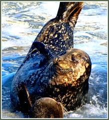 Greetings from the Cove (moonjazz) Tags: ocean life california portrait closeup mammal marine talk wave seal friendly hellow