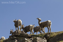 "Bighorn Sheep ewes • <a style=""font-size:0.8em;"" href=""http://www.flickr.com/photos/63501323@N07/6690753901/"" target=""_blank"">View on Flickr</a>"