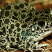 Northern Crawfish Frog