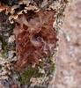 Jelly Fungus (Dendroica cerulea) Tags: winter tree forest newjersey woods nj fungi fungus basidiomycota oldbridge middlesexcounty jellyfungus tremellafoliacea tremellaceae tremellales agaricomycotina brownwitchsbutter tremellomycetes johnaphillipsopenspacepreserve oldbridgecountypark