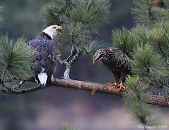 Adult & Juvenile Bald Eagle (Missi Gregorius) Tags: winter birds wildlife idaho eagles