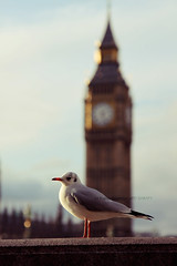 (- M7D . S h R a T y) Tags: uk winter blur cold bird london weather birds season cool focus day afternoon bokeh gull bigben 2012 ststephenstower wordsbyme allrightsreserved