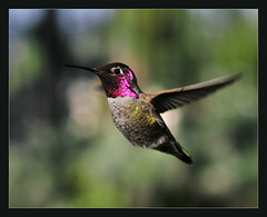 Male Anna's Hummer, flying, shadowed area --- 067 (cropped) (Pat Durkin - Orange County, CA) Tags: bird flying interestingness interesting backyard nikon hummer bif maleannashummingbird d300s