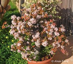 "Crassula ovata ""Gollum"" (Coleccion de cactus Ana Font) Tags: gollum crassula suculenta ovata"