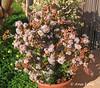 "Crassula ovata ""Gollum"" (Cactus Ana Font) Tags: gollum crassula suculenta ovata"