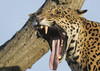 Jaguar yawn (gentle lemur) Tags: jaguar chesterzoo pantheraonca