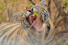 Young tigers Canines (dickysingh) Tags: wild cats baby nature animals wildlife tigers cubs bigcats ranthambore ranthambhore wwwranthambhorecom