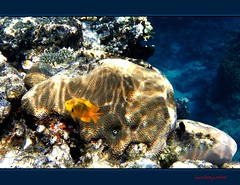 A spasso con Yelly nel mondo dei colori - Swimming with Yelly into the world of colors (26) (Jambo Jambo) Tags: sea mare underwater redsea egypt sharmelsheikh snorkeling reef egitto corals yelly barrieracorallina marrosso coralli jambojambo samsungwp10