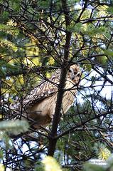 hgs_n7_017517 (Helgi Sigurdsson) Tags: trees tree bird birds pine iceland owl fugl owls sland tr greni helgi garar fuglar sigursson ugla sigurdsson gardar uglur