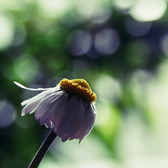 Winter Rose (Tanjica Perovic Photography) Tags: white flower macro green petals bokeh daisy bellisperennis