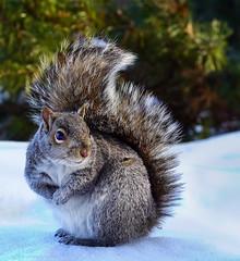cute gray squirrel (marianna armata) Tags: winter snow canada cute nature fur mammal rodent squirrel coat gray mariannaarmata