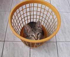 *.¸¸.*♡*.¸¸.* Kimi *.¸¸.*♡*.¸¸.* (Lavanda Artes) Tags: pet pets animal cat chat gato neko katze gatto filhote cutecat gatinho 고양이 кот animaldeestimação