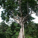 Rainforest tree. Sao Tomé.