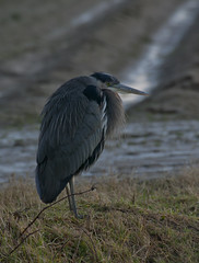 Great Blue Heron & Cold Morning (sgbaughn) Tags: greatblueheron gbh