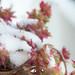 La mia pianta grassa sotto la neve