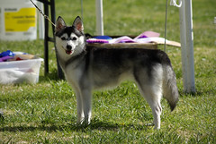 Pink (Alexandra Kimbrough) Tags: show california dog miniature husky mini stack kai nordic claremont northern klee alaskan ukc conformation akk