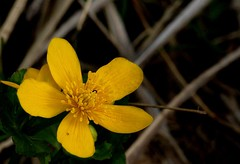 marsh marigold / dotter (friedkampes) Tags: marshmarigold kingcup dotterbloem friedkampes