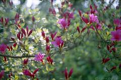 (.kopriva.) Tags: flowers light film nature analog 35mm iso200 spring bokeh vista epson agfa praktica vlc3 v500 epsonv500