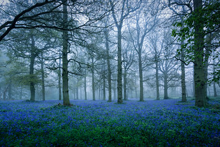 Bluebells in the Fog