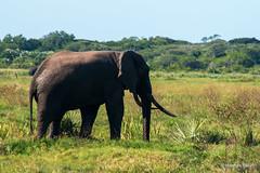 Tembe's Tuskers (hannes.steyn) Tags: africa nature animals fauna canon southafrica wildlife ivory elephants mammals reserves kwazulunatal kzn 70d ndlovu tembeelephantpark hannessteyn canonefs18200mmf3556is canoneos70d emangusi
