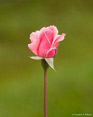Feliz Dia das Mes! (Vanderli S. Ribeiro) Tags: nikon ar natureza flor rosa jardim livre corderosa diasdasmes vanderlisribeiro vanderlisr