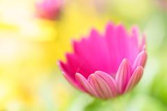 Ein neues Kapkrbchen (Photo-Passion.net) Tags: natur pflanze rosa lila gelb makroaufnahme blume makro naturfotografie makrofotografie