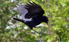 Crow About to Land on Bird Feeder  and Taken through Caravan window (John Carson Essex) Tags: thegalaxy supersix rainbowofnature thegalaxystars