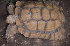 Tortoise (citizen for boysenberry jam) Tags: wild animals zoo texas waco tortoise waza aza cameronparkzoo notaturtle