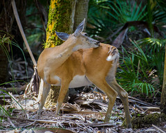 Myakka River State Park White-tailed doe 05-22-2016 (Jerry's Wild Life) Tags: florida doe deer whitetail whitetaileddeer myakkariverstatepark myakkariver whitetaileddoe sarasotacounty sarasotacount