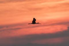 Sunset flight (adamcaird) Tags: sunset orange sun black bird nature birds silhouette backlight canon outdoors scotland natural wildlife flight explore colourful explored