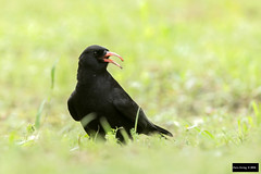 Red-billed Chough (Pyrrhocorax pyrrhocorax) (Dave 2x) Tags: taiwan exotic taipei chough released escaped escapee redbilledchough pyrrhocoraxpyrrhocorax pyrrhocorax redbilled