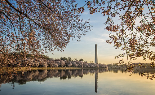 Army Corps' connection to Washington, D.C., cherry trees