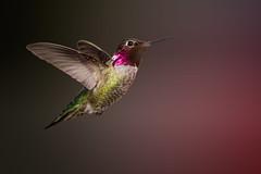 Anna's in the Park (Patricia Ware) Tags: california canon losangeles handheld birdsinflight annashummingbird kennethhahnpark calypteanna ef400mmf56lusm specanimal httppwarezenfoliocom 2016patriciawareallrightsreserved