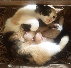 innoallavita. (alesorride) Tags: life cat gatto nascita vita cuccioli gattini alesorride