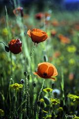 Amapolas (Cruz S.) Tags: flowers naturaleza flores paisaje granada amapolas