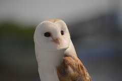Barn Owl - Explored (Clint__Budd) Tags: nocturnal barnowl 116picturesin2016