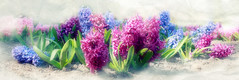 Hyacinth heaven_9121 (comeback_special) Tags: flowers toronto ontario nature gardens season outdoors spring recreation florals hyacinth canon70d