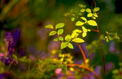 A Sunlit Corner (paulapics2) Tags: green floral leaves garden spring purple bokeh canon5d colourful shrub printemps frhling