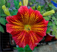 Salpiglossis (sh10453) Tags: redflower gardenflower closeupflower salpiglossis hdrphoto