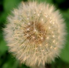 Sunlit (Anna's 50) Tags: flower nature macro canong1x powershotg1x g1x canonpowershot canon compact