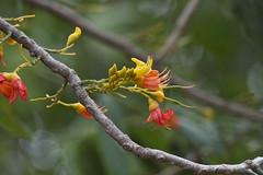 Moreton Bay Chestnut or Blackbean - Castanospermum australe (Steve Attwood) Tags: cruise orange flower tree yellow canon australia portdouglas floweringtree castanospermumaustrale castanospermum