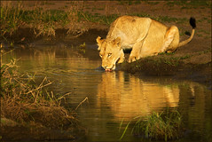 The river and the Styx (hvhe1) Tags: africa wild nature animal fauna southafrica wildlife lion pride safari styx lioness gamedrive leeuwin gamereserve leeuw malamala specanimal hennievanheerden specanimalphotooftheday hvhe
