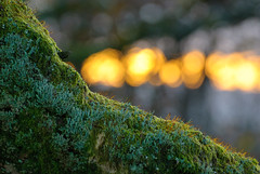 mosses, lichens and evening bokeh (devonteg) Tags: november oak nikon bokeh lichen eveninglight mosses 70300 2011 d80