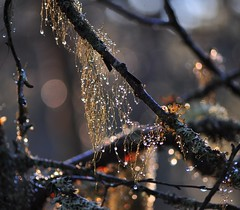 Bling (stigkk) Tags: november autumn light fall nature forest droplets dof bokeh branches dew skog lys twigs shining hst greiner vanndrper nikkor55200mm nikond90 norgenorwaynorwegen stigkk