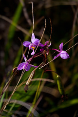 """Lanipo Orchids • <a style=""""font-size:0.8em;"""" href=""""http://www.flickr.com/photos/55747300@N00/6409127431/"""" target=""""_blank"""">View on Flickr</a>"""