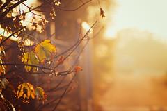 Pure Mornings (RichardTerborg) Tags: autumn light sun holland netherlands amsterdam yellow golden licht bokeh herfst nederland depthoffield flare leafs depth tone goldenhour 85mmf18 canon7d