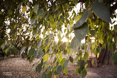 Llidoner (Salva Coll) Tags: sunset tree verde green sol leaves hojas arbol atardecer otoo tronco autumm lidonero